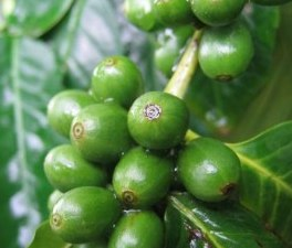 What are green coffee beans