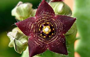 Caralluma Fimbriata what is it