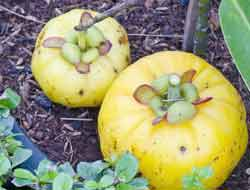 where does garcinia cambogia come from