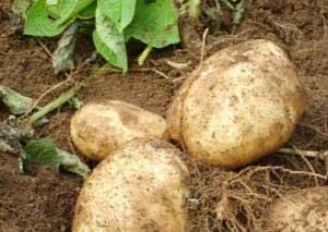 Potato Protein
